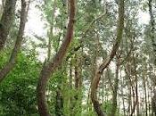 Bosque Árboles Torcidos, Polonia