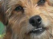 Astor, guapísimo cachorrito cruce yorkshire meses. super simpático.