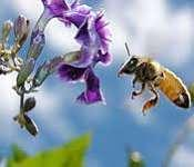 abejas capaces manipular ideas abstractas