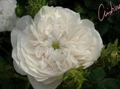 Hardy: belleza incombustible blanco