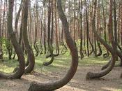 curioso bosque árboles torcidos Gryfino Polonia