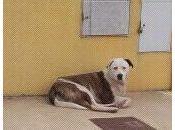 BOB, CRUCE PITBULL DOGO CALLE. (VALENCIA)