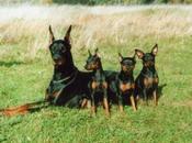 Enérgicos Perros Doberman Vigilantes Valientes