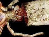 Descubriendo Kraken (I): Calamar Gigante