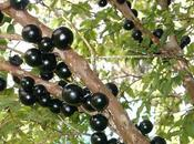 Conociendo árbol Jaboticaba