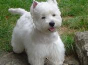 perros Westy Highland Terrier excelentes mascotas