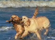 Perros Golden Retriever Buenos Nadadores