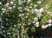Árbol Rosas