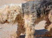 Triste historia separación abandono. bobtail perrito tamaño pequeño. calicanto (valencia)