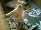 Parson russell terrier hembra adopción zaragoza!!!