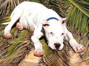 Dogo argentino meses adopción, sordo quieren....