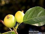 Maguillo manzano silvestre. Malus sylvestris