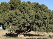 Árboles Singulares Huesca Sabina Albelda