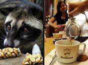 hace Kopi Luwak, café caro aromático mundo, tras defecado