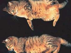 ¿Por gatos siempre caen pie?