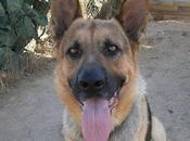 Arco, pastor alemán, años soledad, excelente guardián, bueno noble, encadenado, llevan perrera, necesita adopción urgente. (toledo)