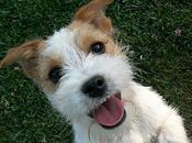 Jack Russell Terrier perro adecuado para