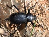 escarabajo muerte