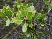 Quercus rouxii