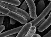 bífidus otras bacterias