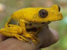 Imágenes Ranita Amarilla, peligro extinción, Ciudad Guayana