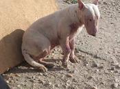 Tundra, bull terrier salvada criador, ahora necesita ayuda...
