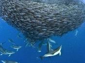 Increíbles fotos delfines petreles atacando cardumen caballas
