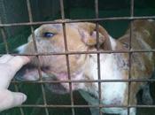 Cachorrita pittbull perrera, horas para salvarla. Carballo (CORUÑA)