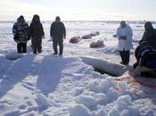 Ballenas beluga atrapadas hielo comida para gente osos polares