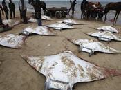 misteriosa muerte decenas grandes peces raya playa Gaza.