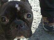 Bulldog frances puro, unos años desnutrido calle necesita acogida adopcion urgente. (Huelva)
