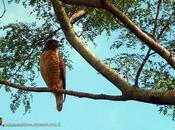 Taguató común, Roadside Hawk