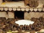 INDIA: templo ratas sagradas