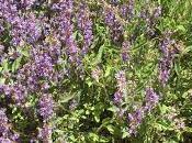 plantas aromáticas huerto