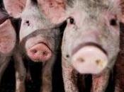 Granjas Cerdos mayor investigación sobre explotación animal