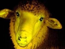 Científicos uruguayos crean ovejas brillan oscuridad