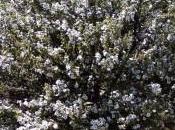 Miel Manuka Nueva Zelanda-Leptospermum Scoparium