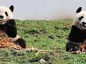 Pagan china millones dólares pareja pandas