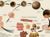 Clonación terapéutica. transferencia nuclear humana…