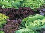 Ensaladas: Conoce variedades lechuga