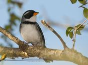 Cerquero collar (Saffron-billed Sparrow)