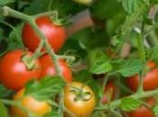 cultivar Verano?