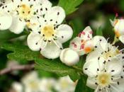 propiedades medicinales Espino Blanco
