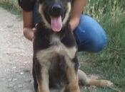 Cachorrita pastor alemán abandonada, urge adopción. Ejea Caballeros (Zaragoza)