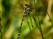 colores libélulas, amarillo (Cordulegaster boltonii)