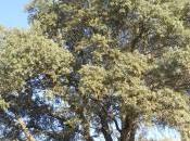 ENTORNO NATURAL. Nuestros Árboles: Quercus ilex rotundifolia. 8/09/2013