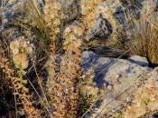 ENTORNO NATURAL. Chiliadenus glutinosus Roca). septiembre 2013