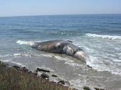 Cerumen revela historia vida ballena azul