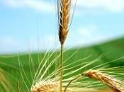 Problemas trigo cereales gluten.
