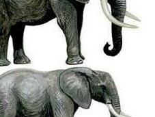 elefantas maestras cuestión elección pareja